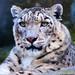 Snow Leopard Full Face