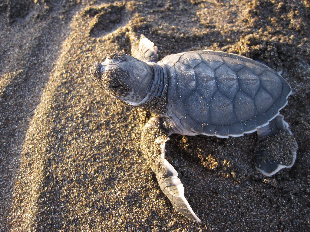 Baby Green Sea Turtle | The first baby sea turtle we found ... - photo#2
