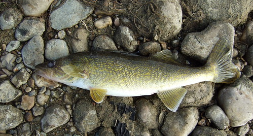 "FISHING LAC ST. ANNE, ""THE NARROWS"", OCTOBER 18 2009 BERNIE'S 3 LB WALLEYE, 
