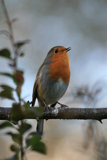 Robin | by Chris*Bolton