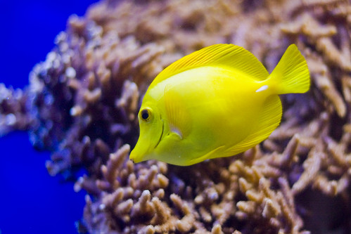 Tropical yellow fish img 3942 b kent smith flickr for Polygonalplatten quarzit tropical yellow