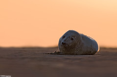 Seal Pup At Sunset | by Craig Jones Wildlife Photography
