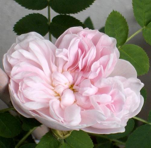 Rosa 'Stanwell Perpetu...