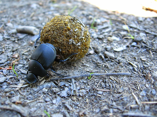 Dung Beetle | by Amy Loves Yah
