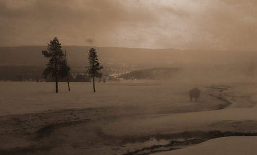 Lonely Buffalo, Yellowstone NP