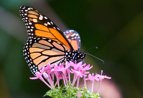 Monarch butterfly | by jim_mcculloch