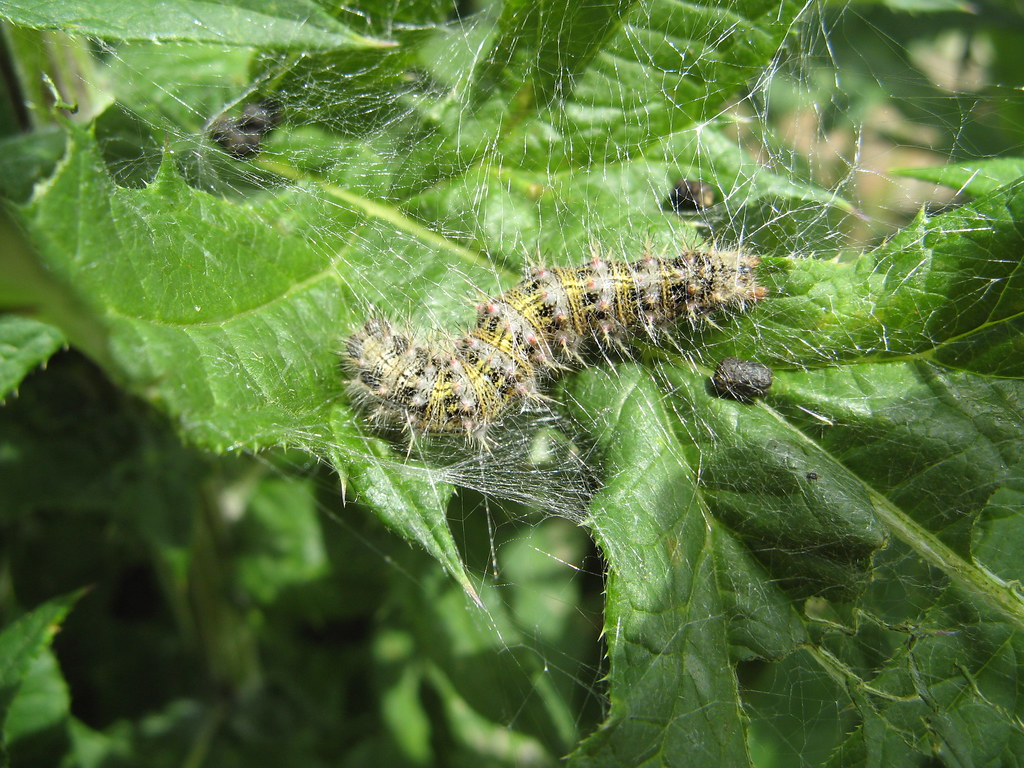painted lady butterfly caterpillar - photo #35