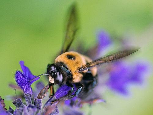 Bumble Bee Licking Up Nectar | by _Maji_
