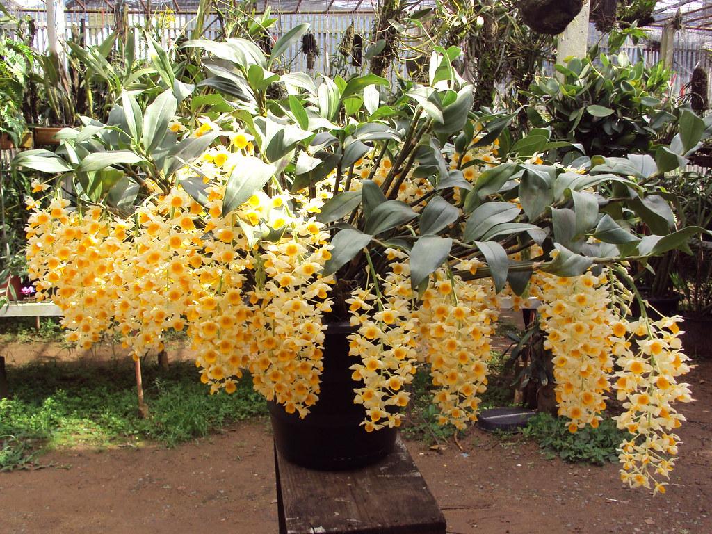 Dendrobium thyrsiflorum. \
