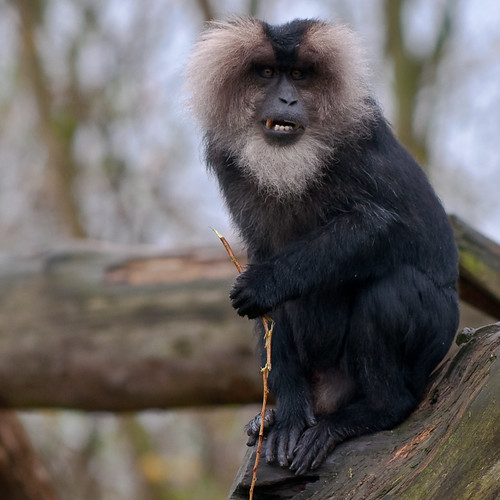 Lion Tailed Macaque Beard Ape The Hair Of The Lion