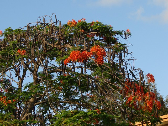 Poinciana tree full of seed-pods   After strong flowering ...