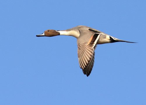 Pintail Flying