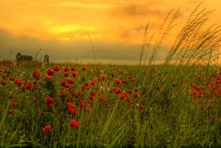 Sunrise with poppies | by scarbody