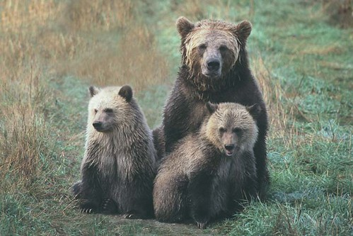 Grizzly family portrait | by Jonathan Ball