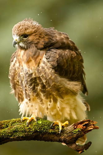Red Tailed Hawk Fluffed Up | by Jason Idzerda