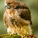 Red Tailed Hawk Fluffed Up