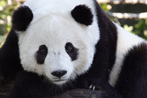 Tai Shan | by Smithsonian's National Zoo