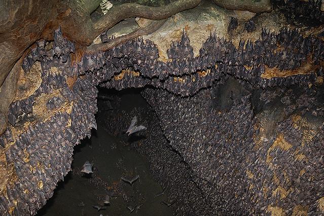 Monfort Bat Cave Crowded Wall Monfort Bat Sanctuary