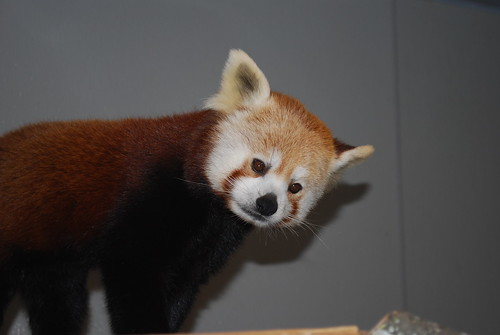 Red Panda - Harley | by Potter Park Zoo