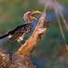 Golden Light Hornbill