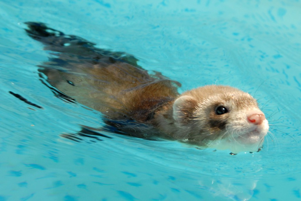 swimming baby ferrets 1 6 wek old tan and cream baby flickr