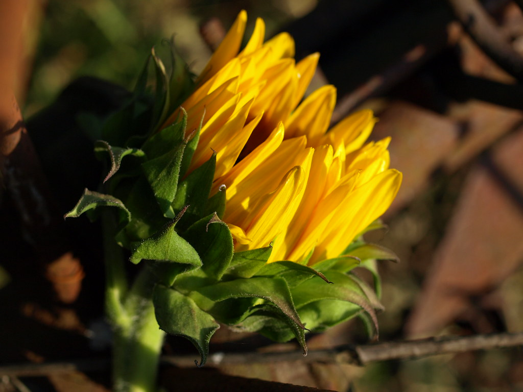 Sunflower Song Yellow Flower Grieving Flower Pale Flower Flickr