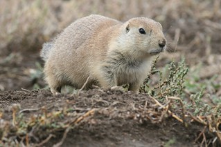 Cynomys ludovicianus (Black-tailed Prairie Dog) | by Arthur Chapman