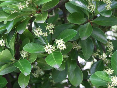 Euonymus japonicus   マサキ(...