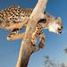 Wide Angle Cheetah Cub_5584