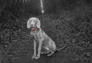 Weimaraner - red collar | by woodfordp