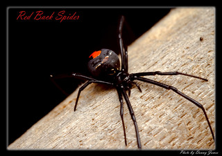 _MG_5741- Redback-02 | by DoctorJ73