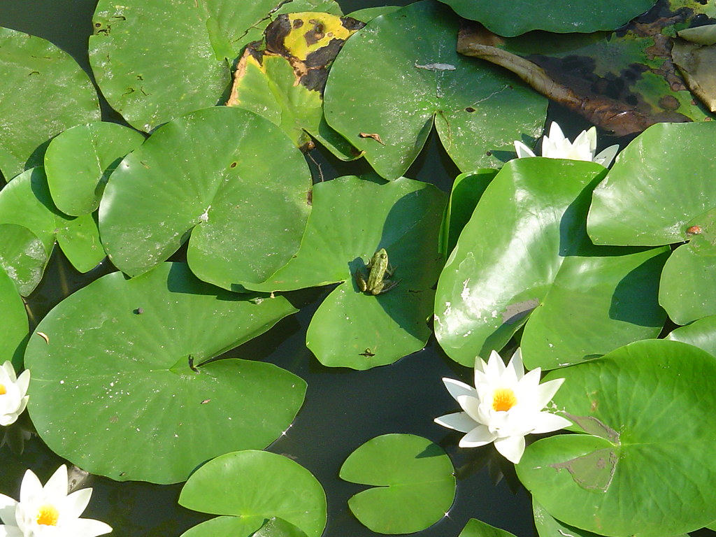 Image Result For Frog Lily Pad