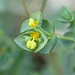Euphorbia paralias (Sea Spurge / Zeewolfsmelk) 0497