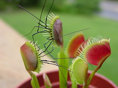 Venus Fly Trap - 2,  Daddy Long Leg Spiders - 0 | by Dominic Skubishkoo