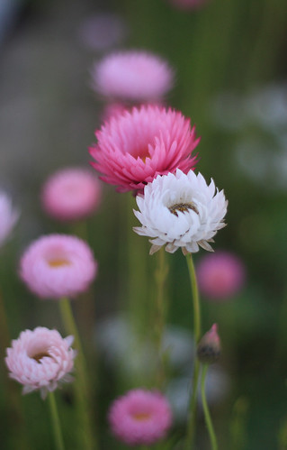 paper daisies | by Jocelyn Y Bishop