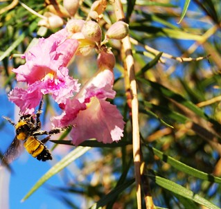 Desert Willow Bee-ing Visited | by garlandcannon