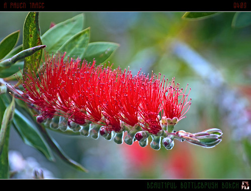 Beautiful Bottlebrush Bokeh | by tomraven