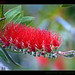 Beautiful Bottlebrush Bokeh