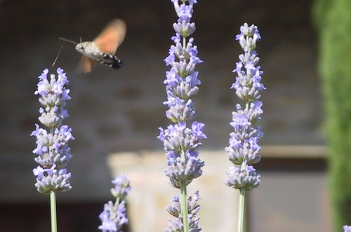 hummer moth | by Contra Costa Times