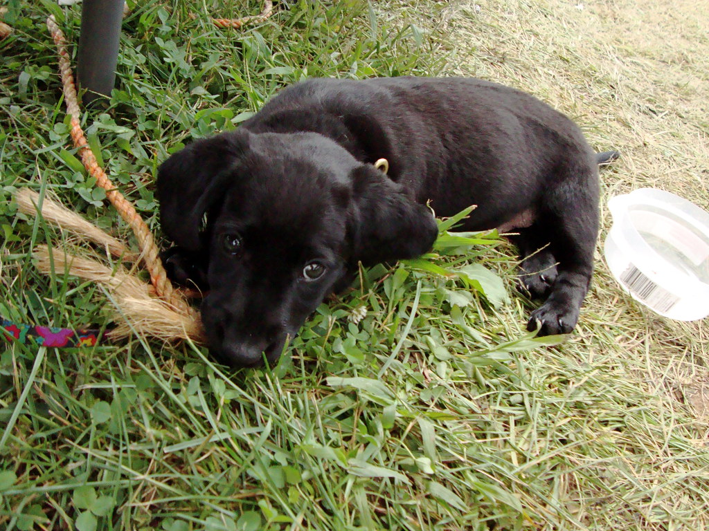 Black Lab Dachshund Beagle Mix