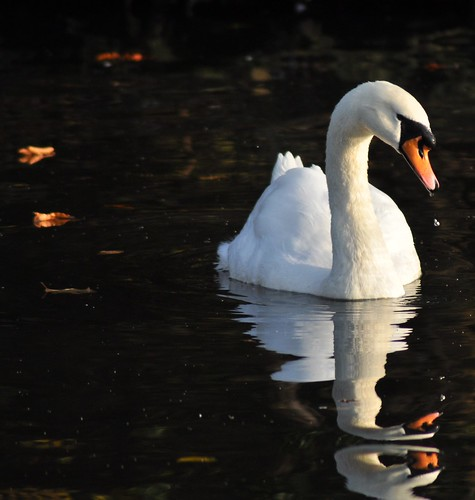 Autumn Swan... | by Chris H#