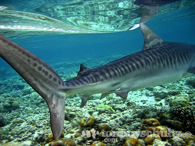 Tiger Shark Juvenile Tiger Shark Underwater
