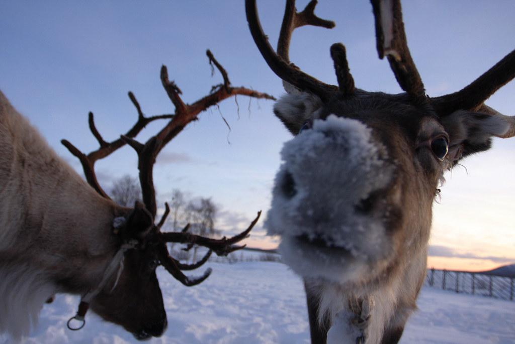 R Reindeer Real Image Gallery real rei...