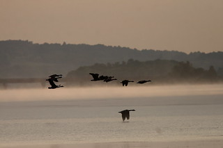 Geese at dawn | by Henry McLin