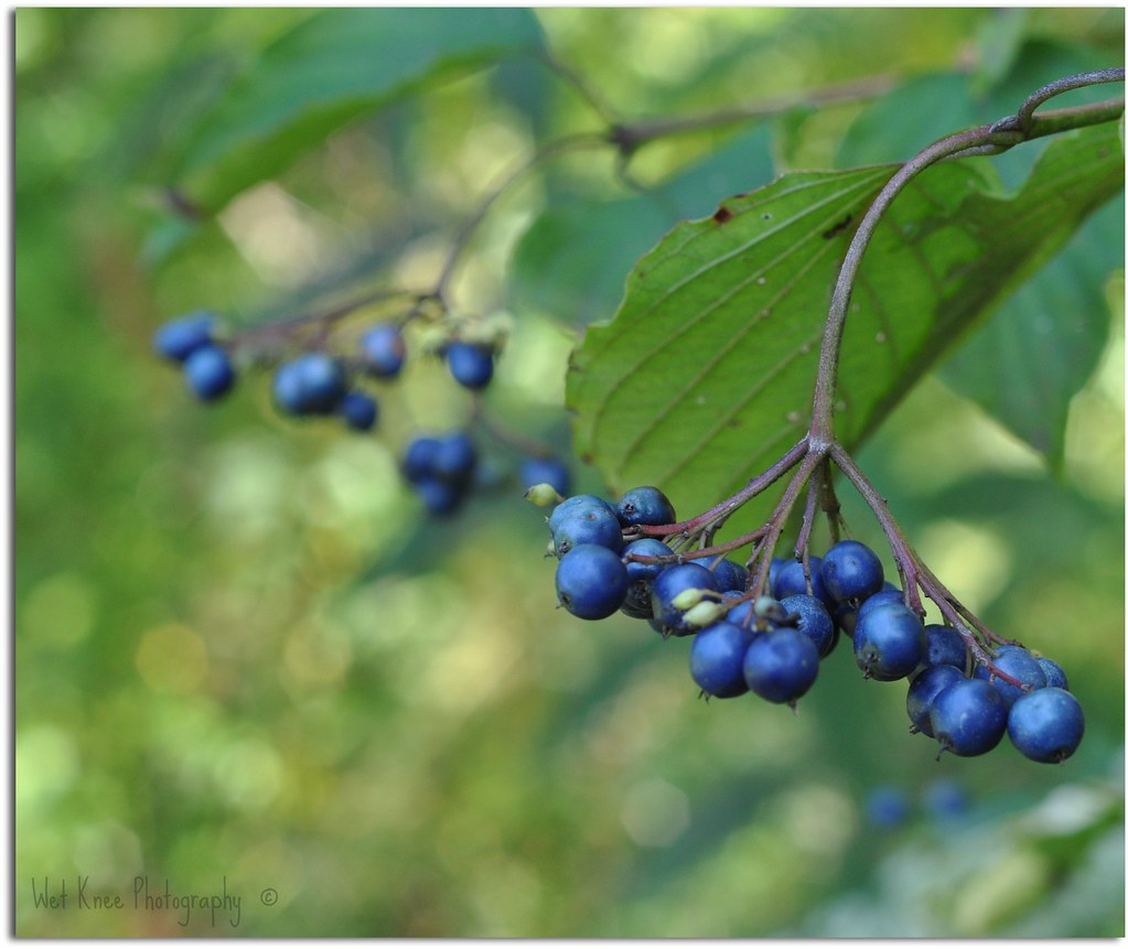 Berries that are blue i have no idea what kind of berries flickr berries that are blue by tracey tilson photography izmirmasajfo