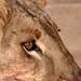 A lion's portrait