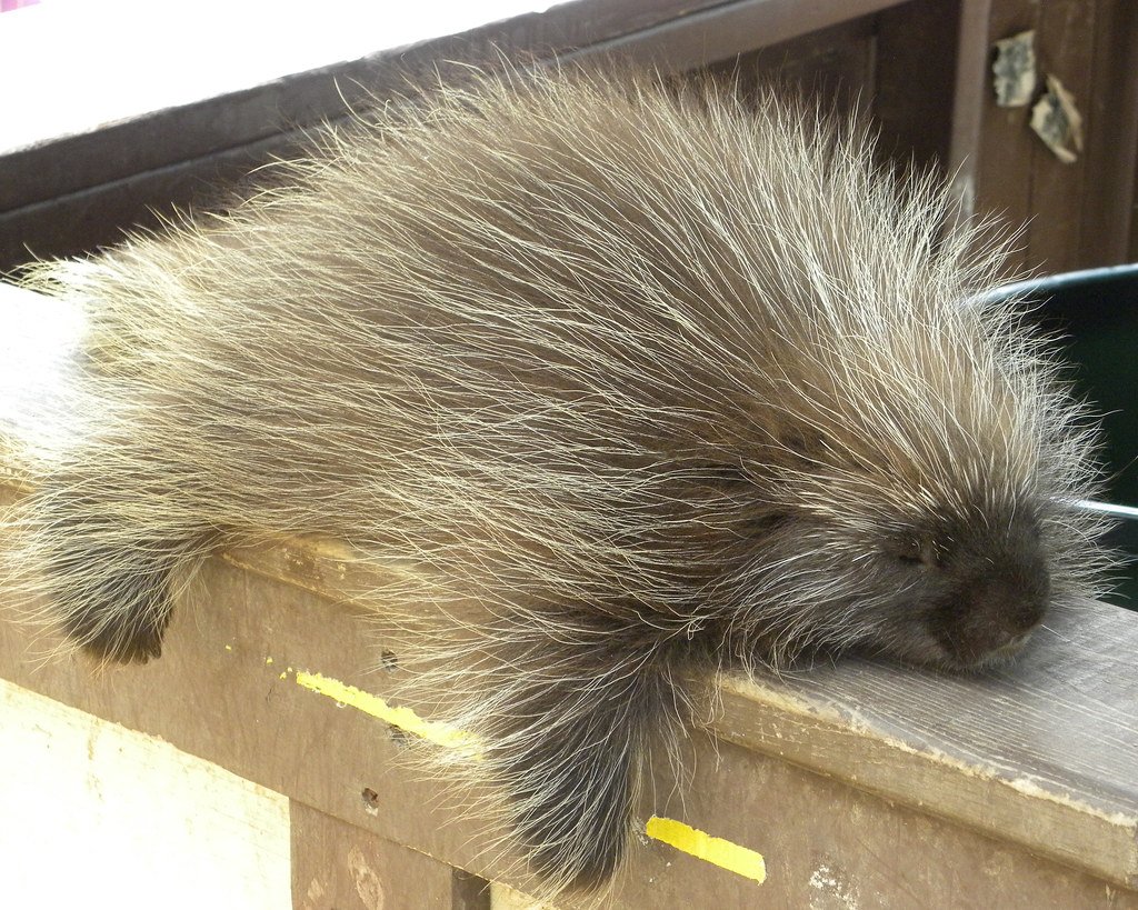 Image result for cute porcupine