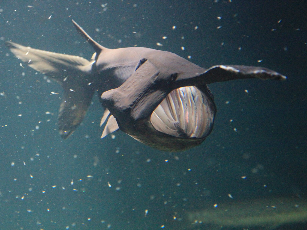 Paddlefish videos, photos and facts - Polyodon spathula | ARKive