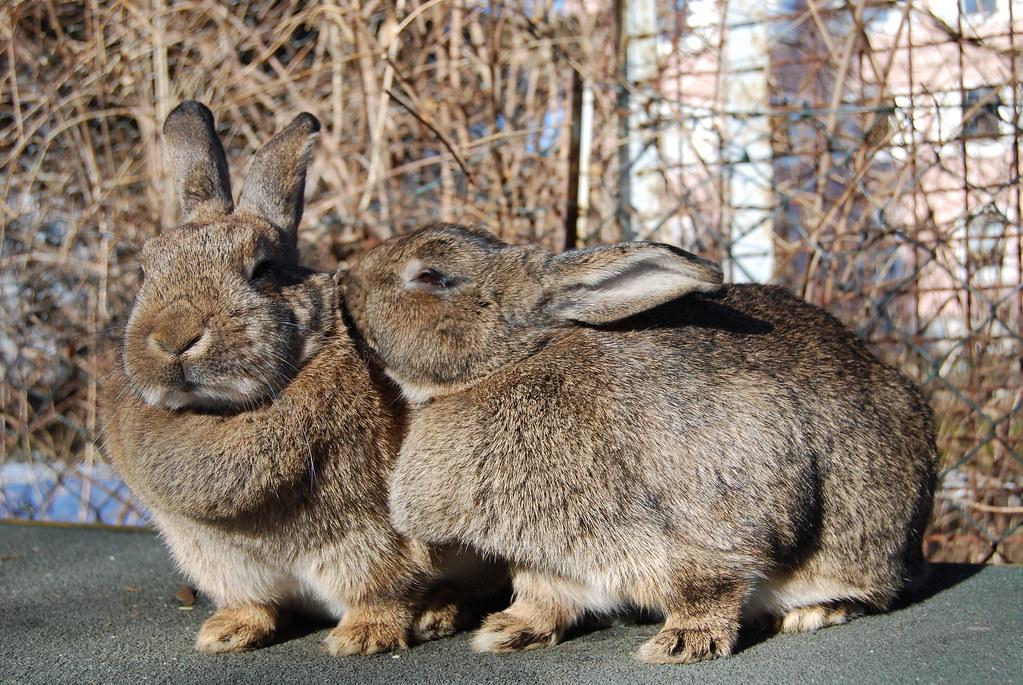 Сколько живут декоративные кролики baloteli все самое интересное
