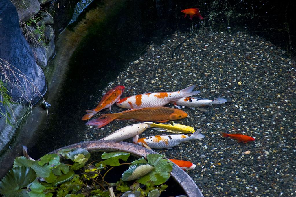 00006 koi fish my fish koi koi fish or nishikigoi for Koi carp breeding